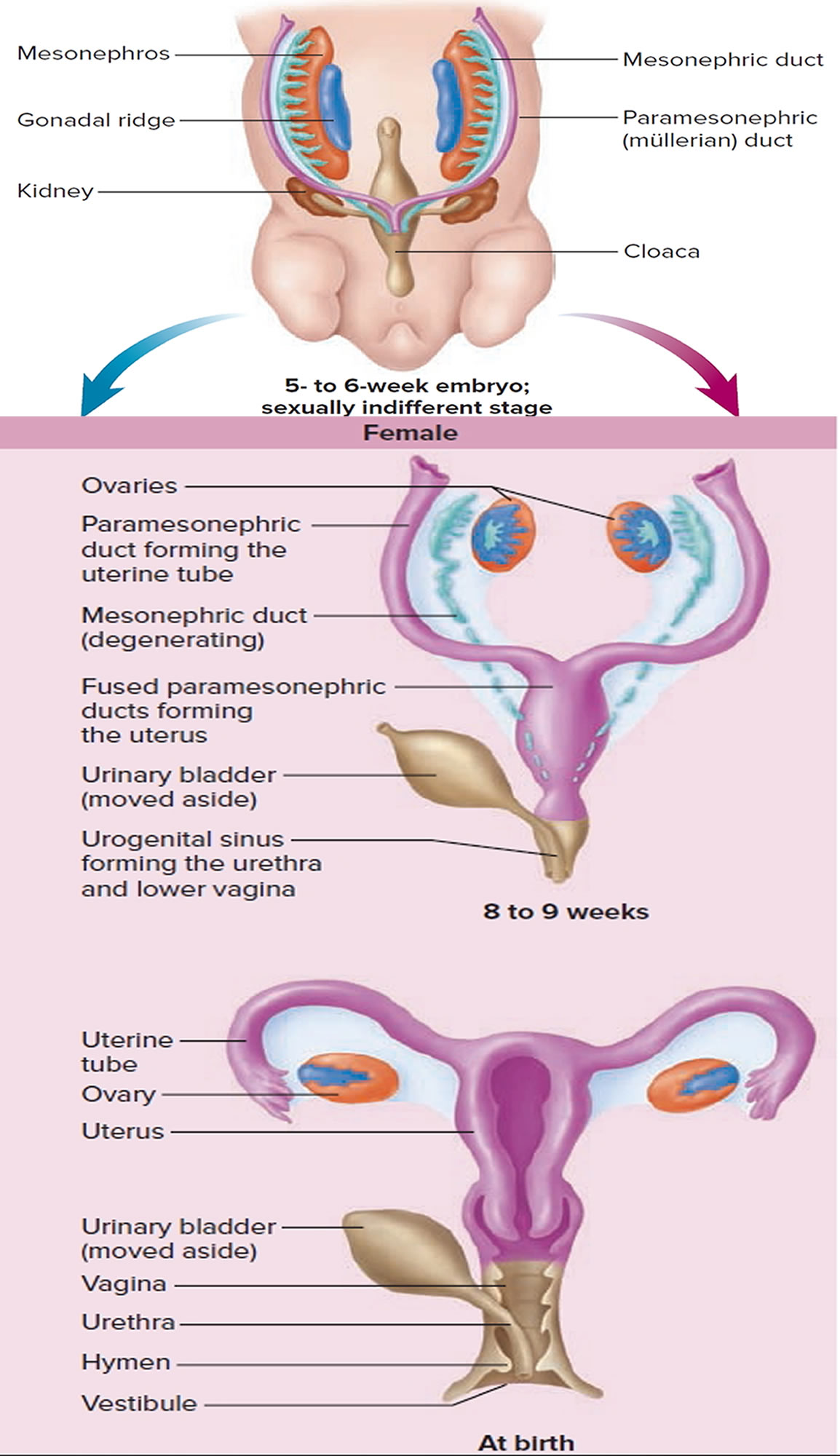 uterus embryology