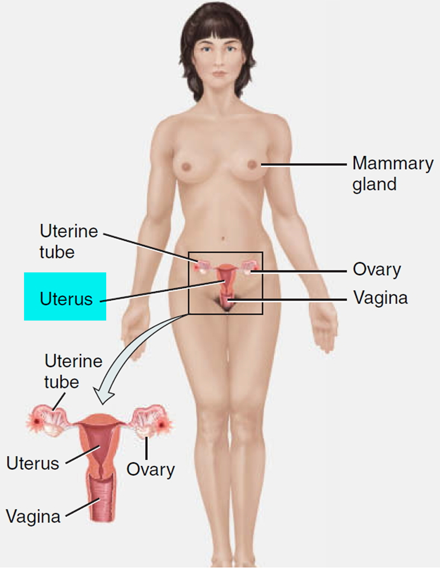 uterus location