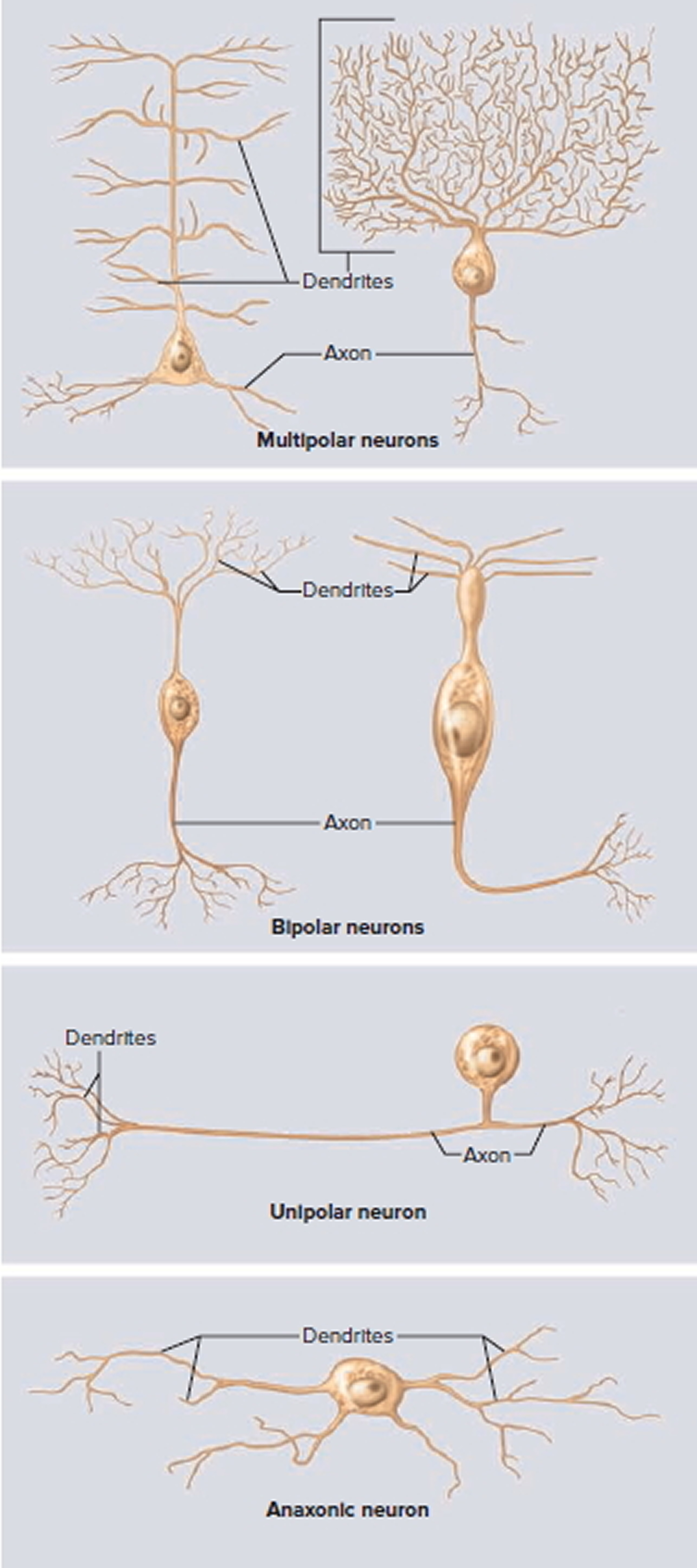variation in neuron structure