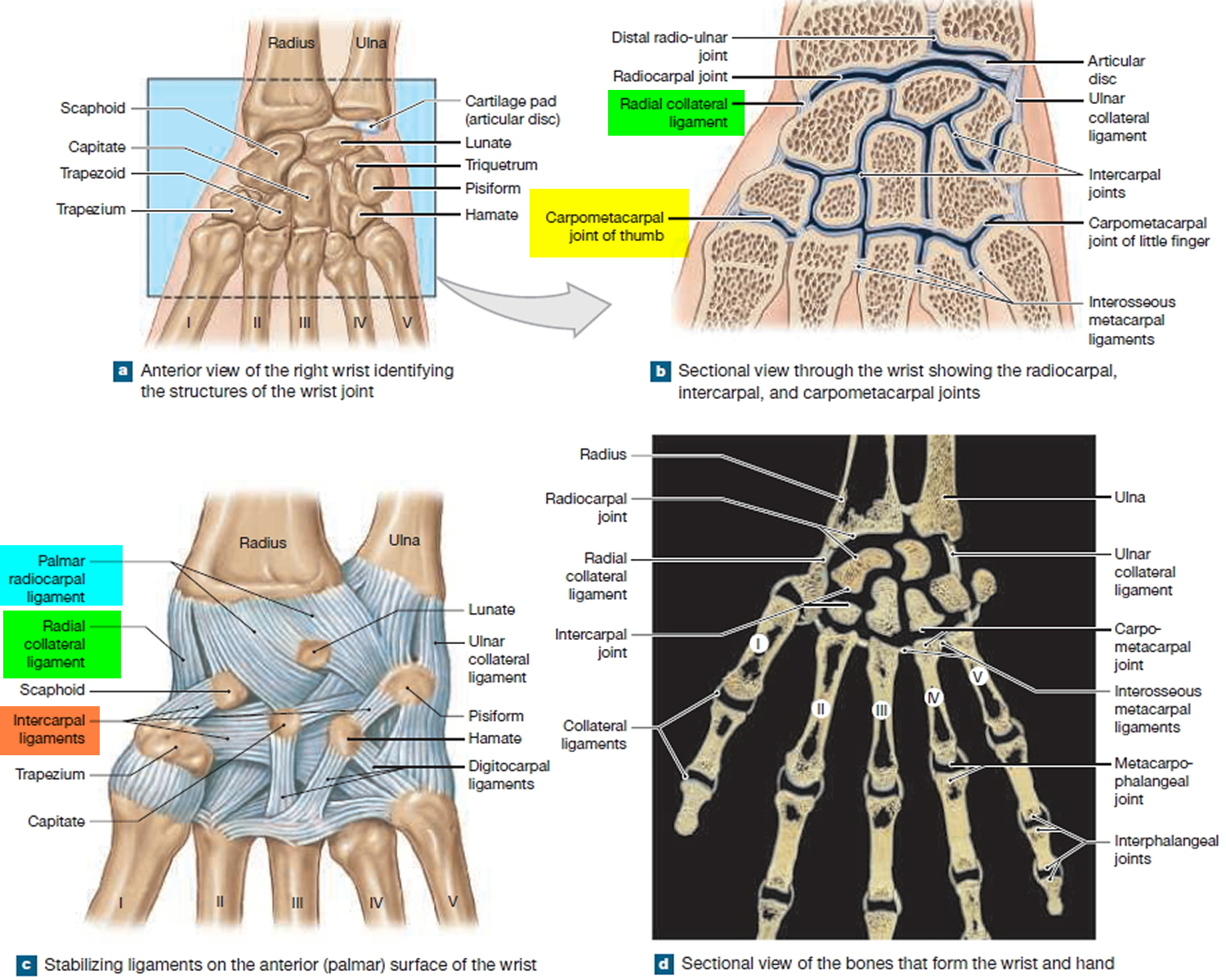 wrist and thumb joint ligaments