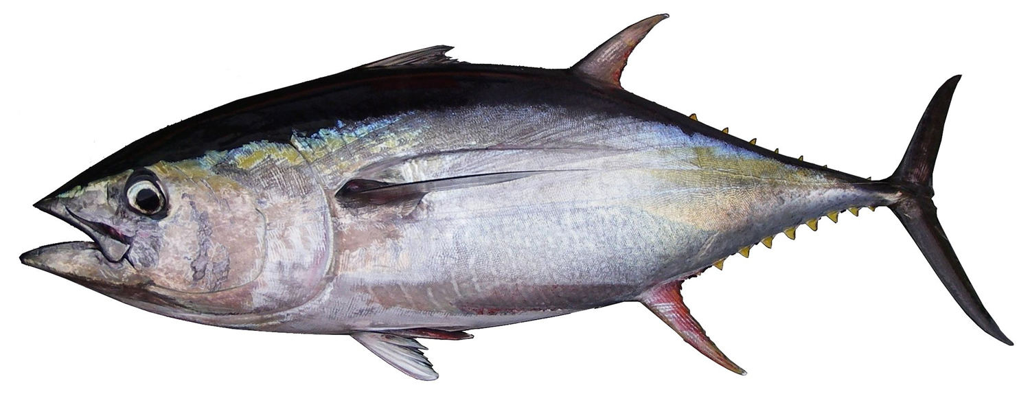 Tuna fish yellowfin bluefin nutrition calories for Is tuna fish healthy