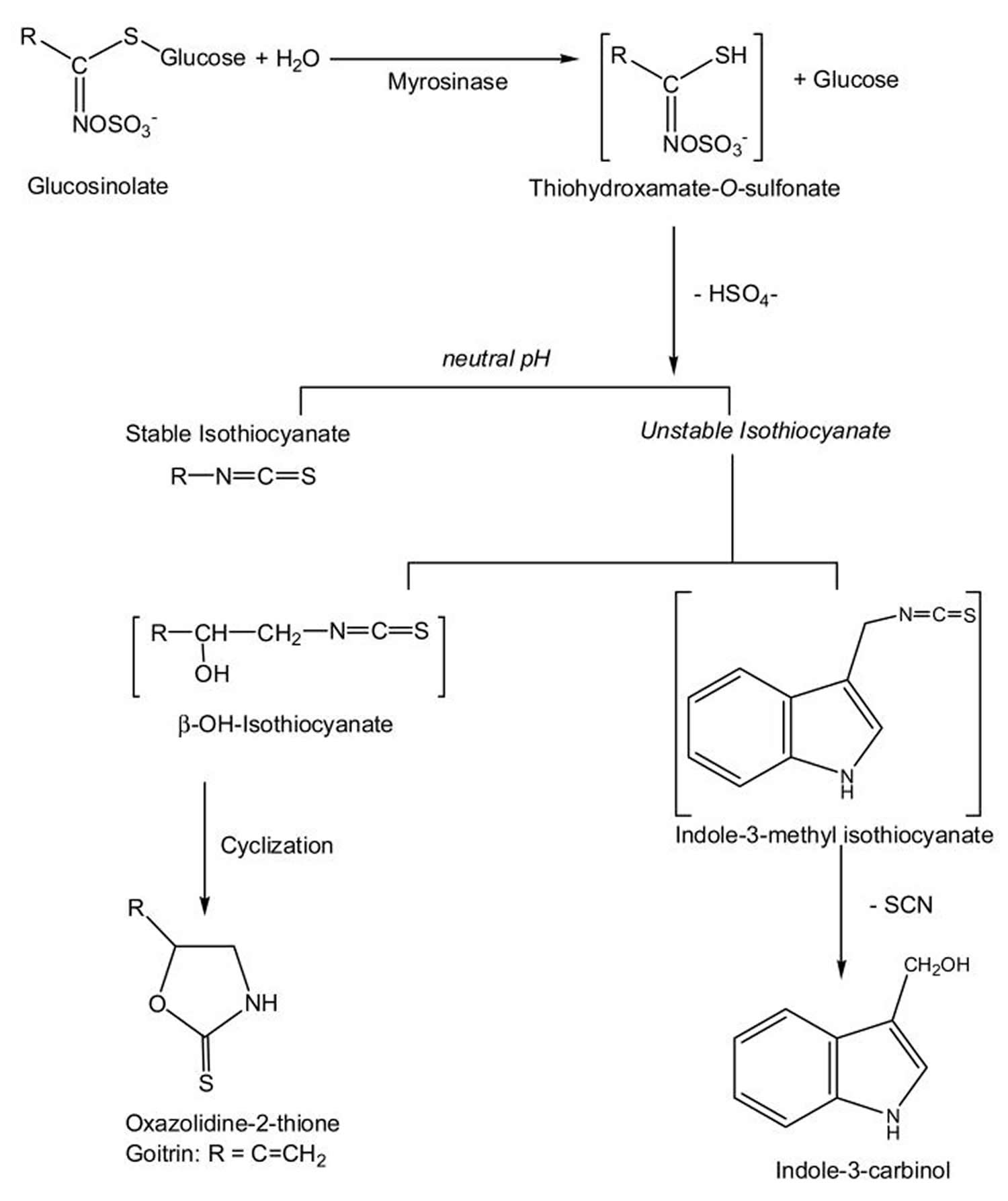 Breakdown of glucosinolates