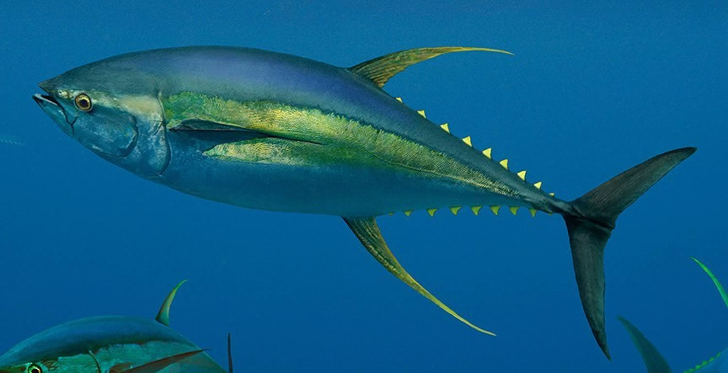 Yellowfin-Tuna