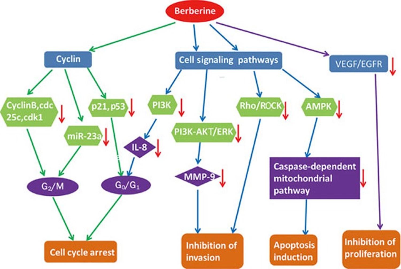 anti-tumor effect of berberine