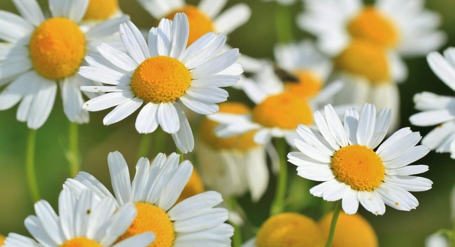 Camomile Flower Tea Oil Uses Health Benefits