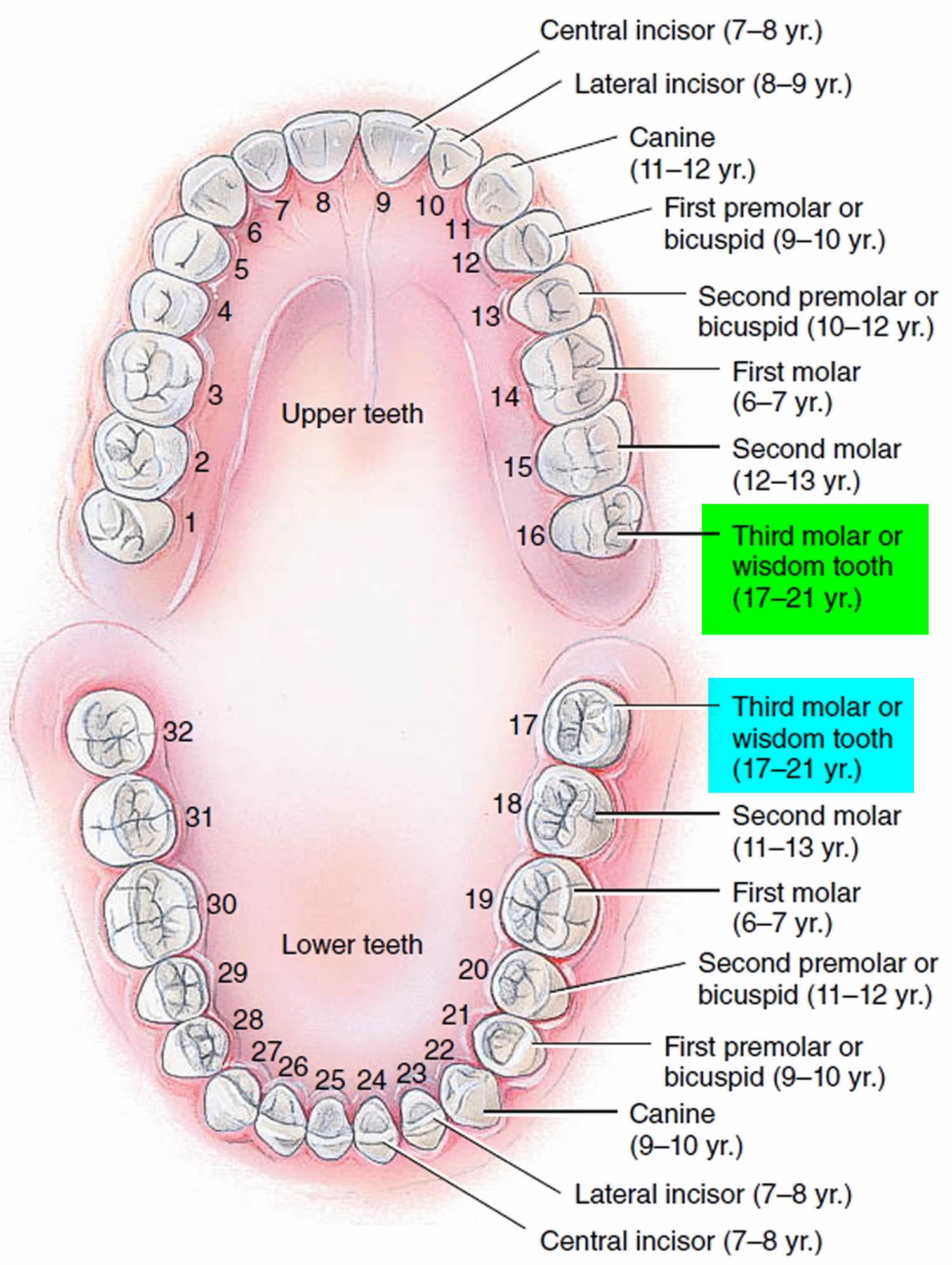 teeth times of eruption