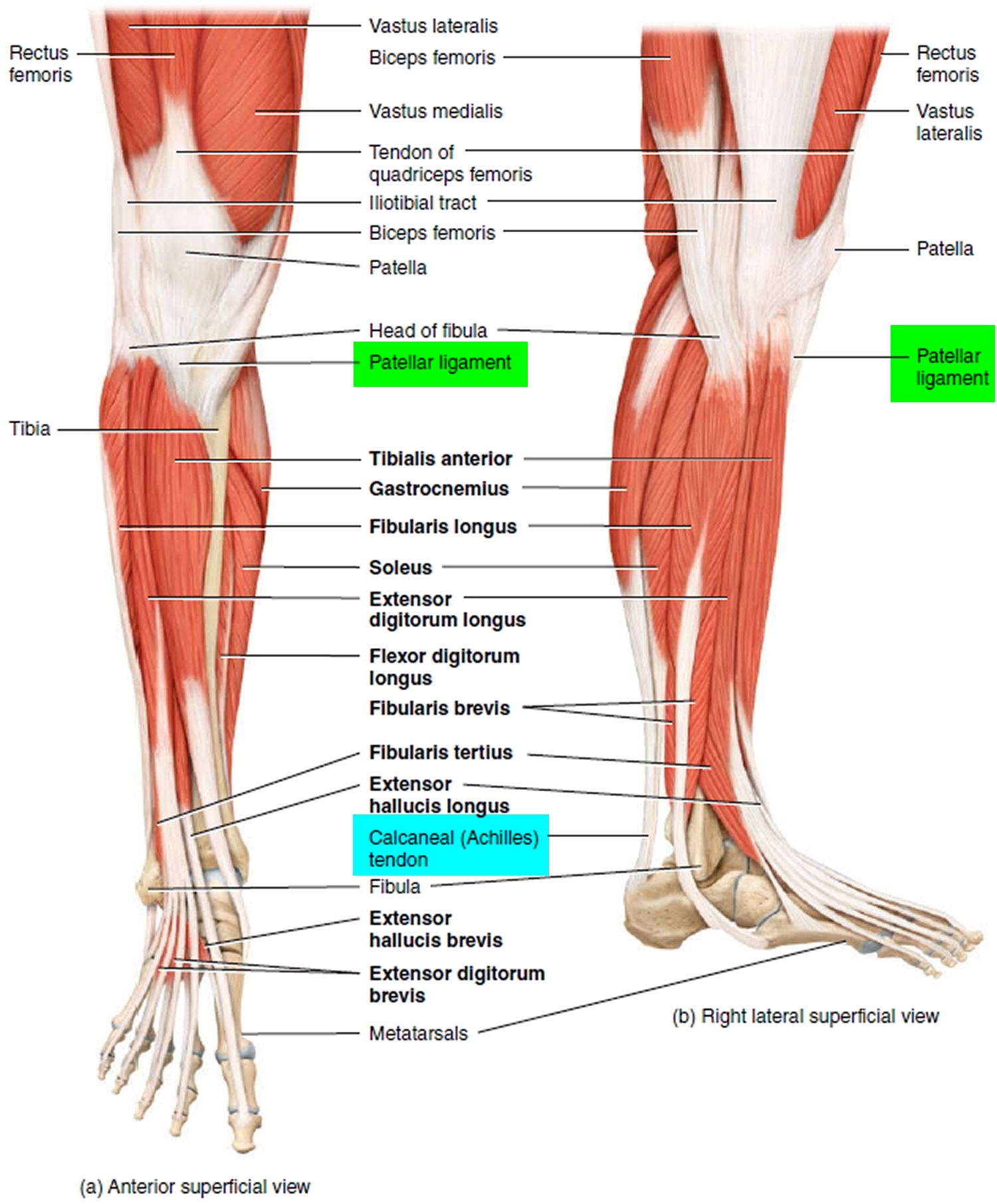 tendons of the leg