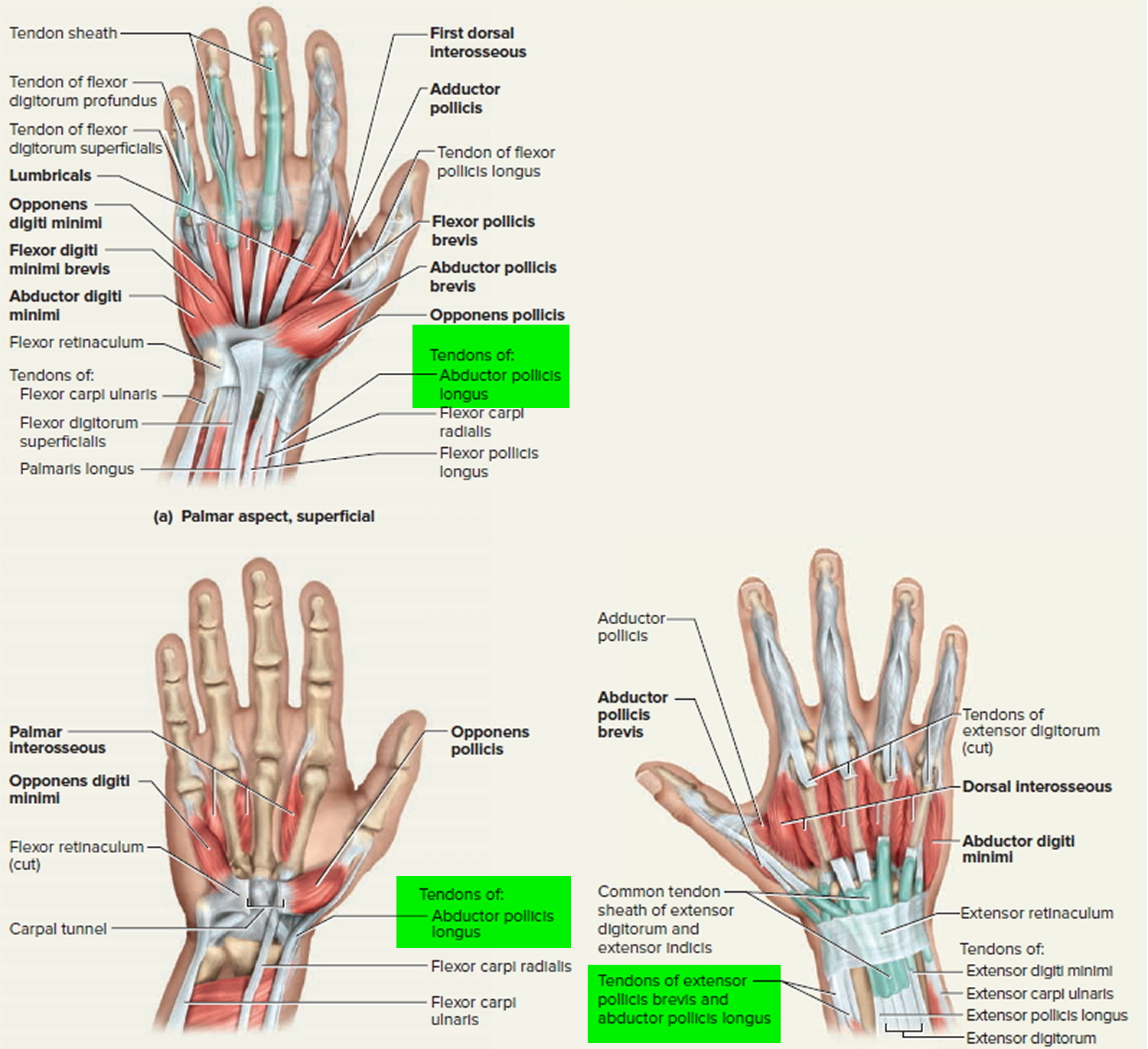 tendons-of-the-wrist