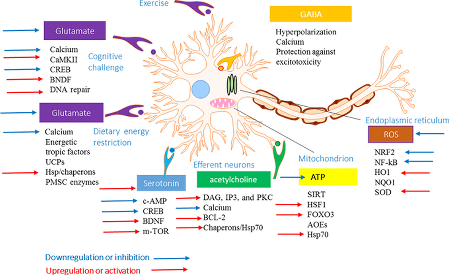 Adaptive stress response and effects of adaptogens