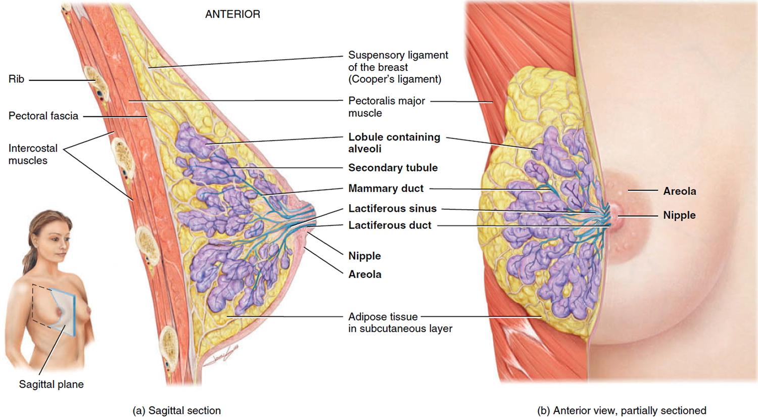 Mammary Duct Ectasia Causes, Symptoms, Diagnosis & Treatment