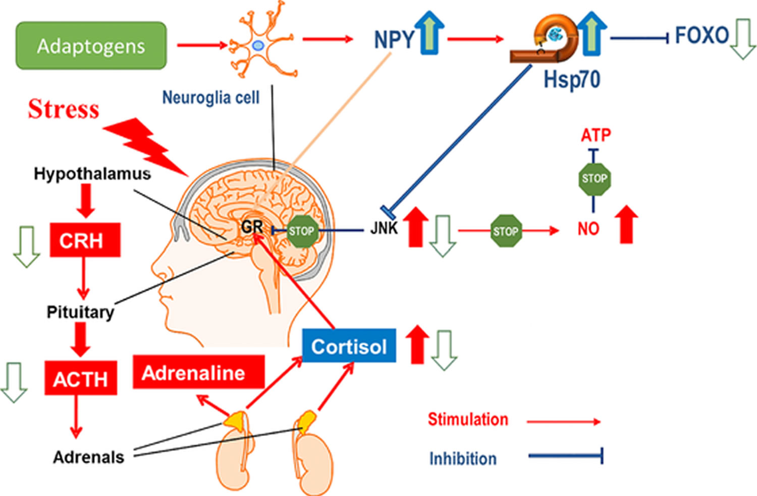 Hypothetical mechanism of action of adaptogens on the stress system in depression