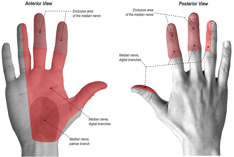 Median nerve palmar distribution
