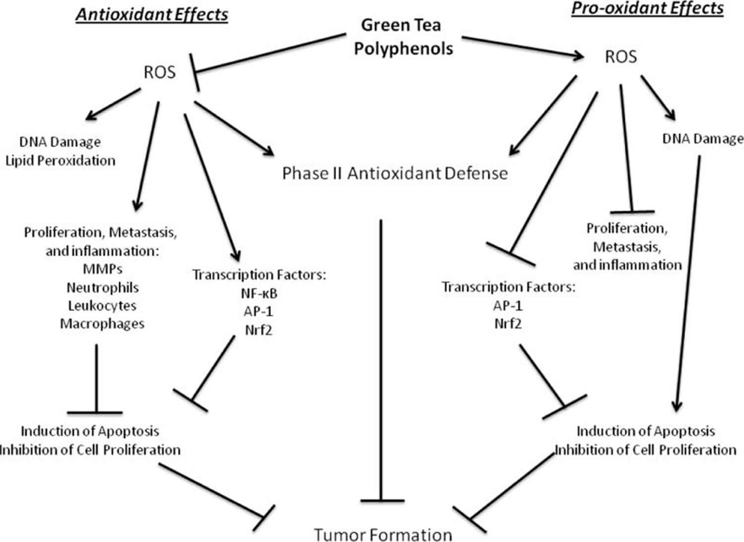 antioxidant and pro-oxidant effects of green tea polyphenols