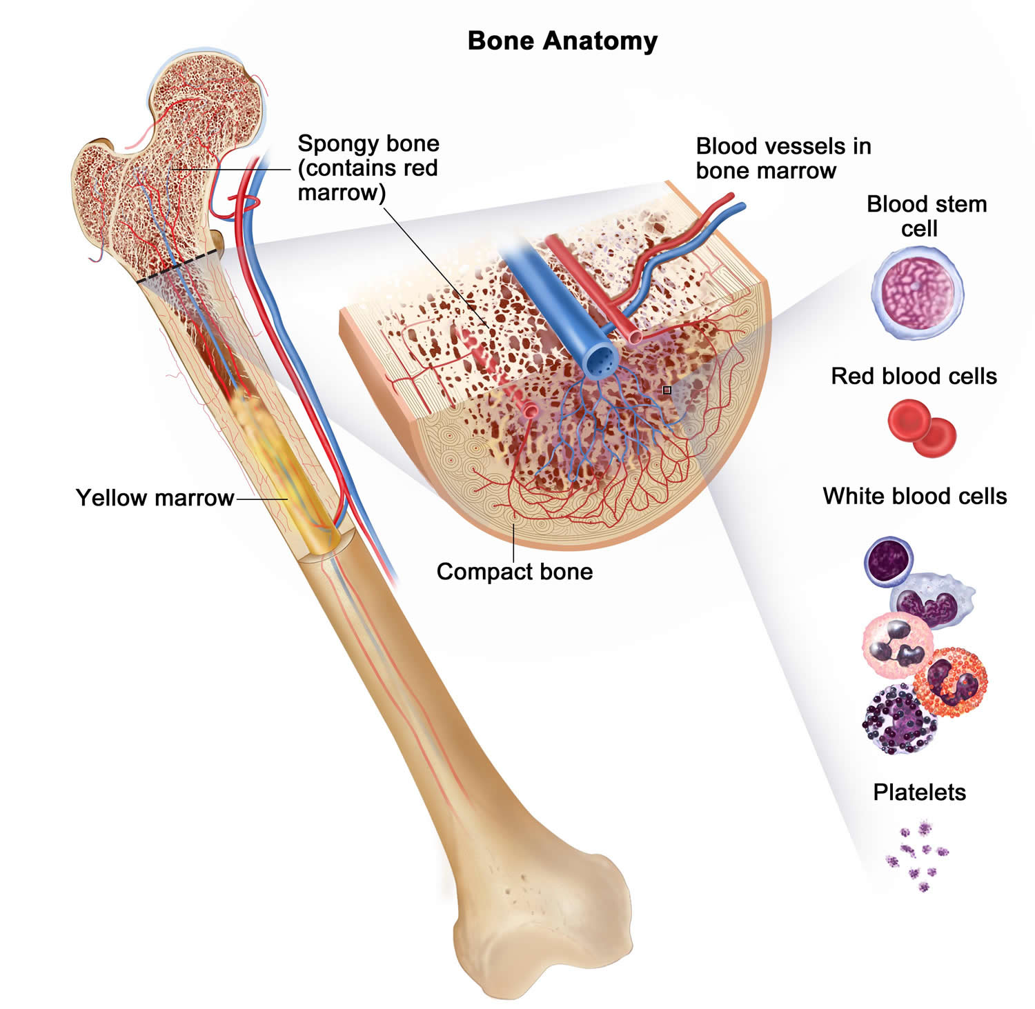 bone marrow anatomy