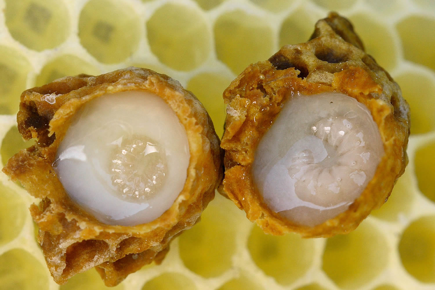 royal jelly surrounding queen bee larvae