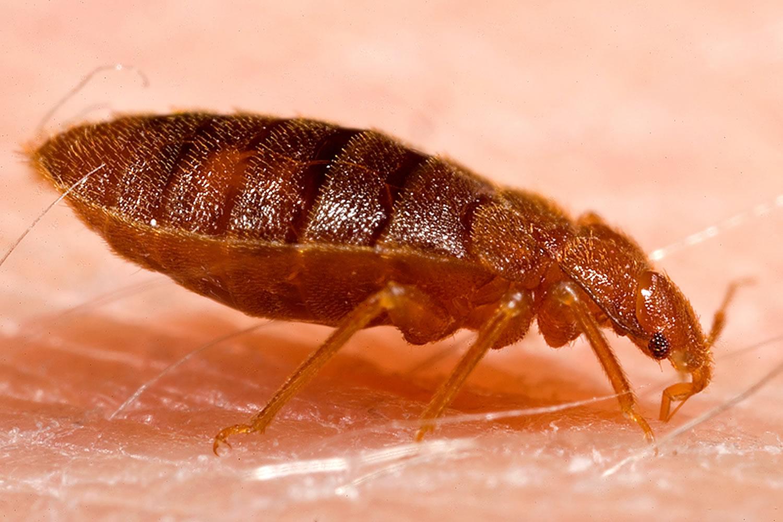 bed bugs - Cimex lectularius