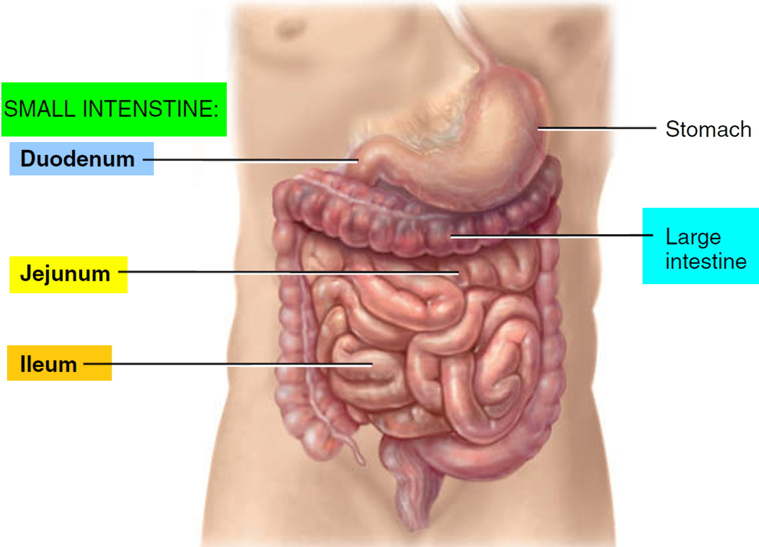 Bowel Obstruction - Small & Large - Causes, Symptoms, Treatment