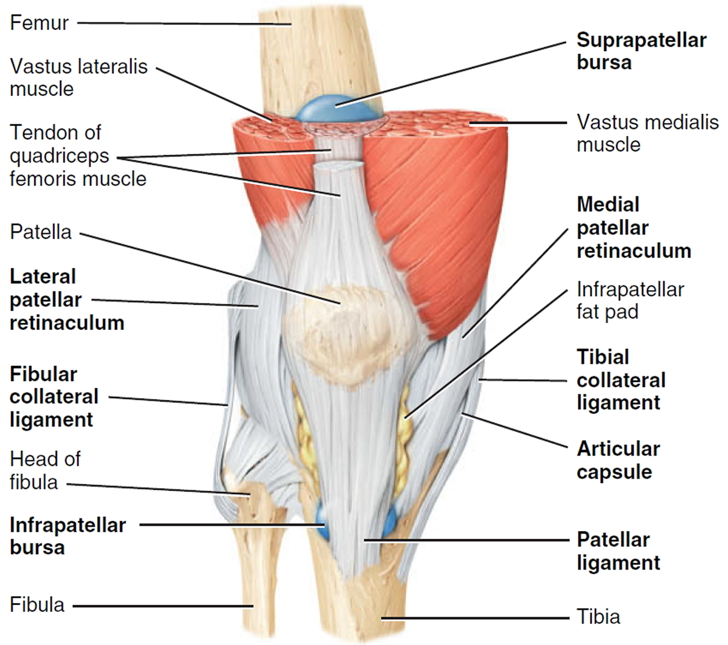 anatomy knee bursa choice image