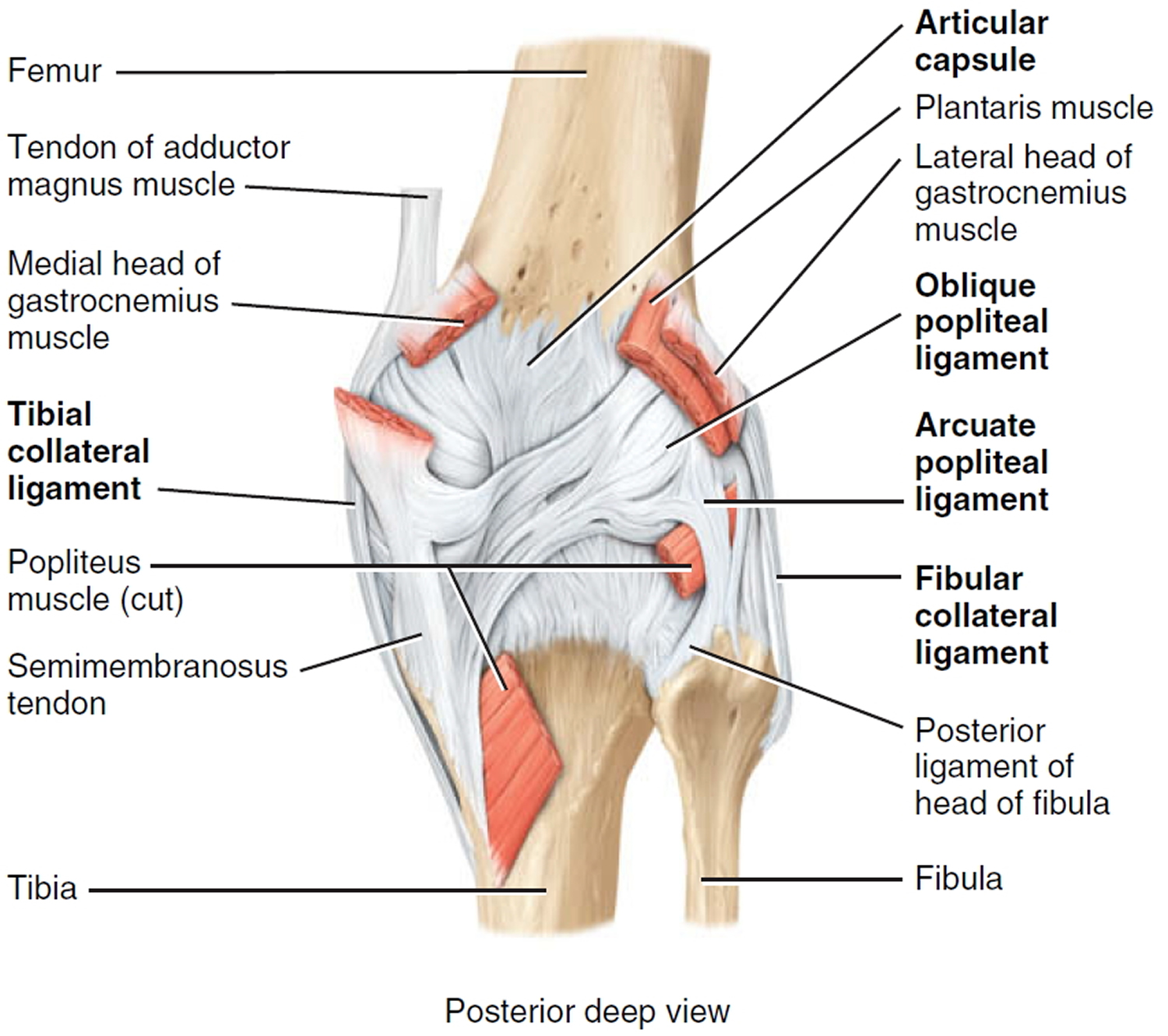 knee joint anatomy posterior view