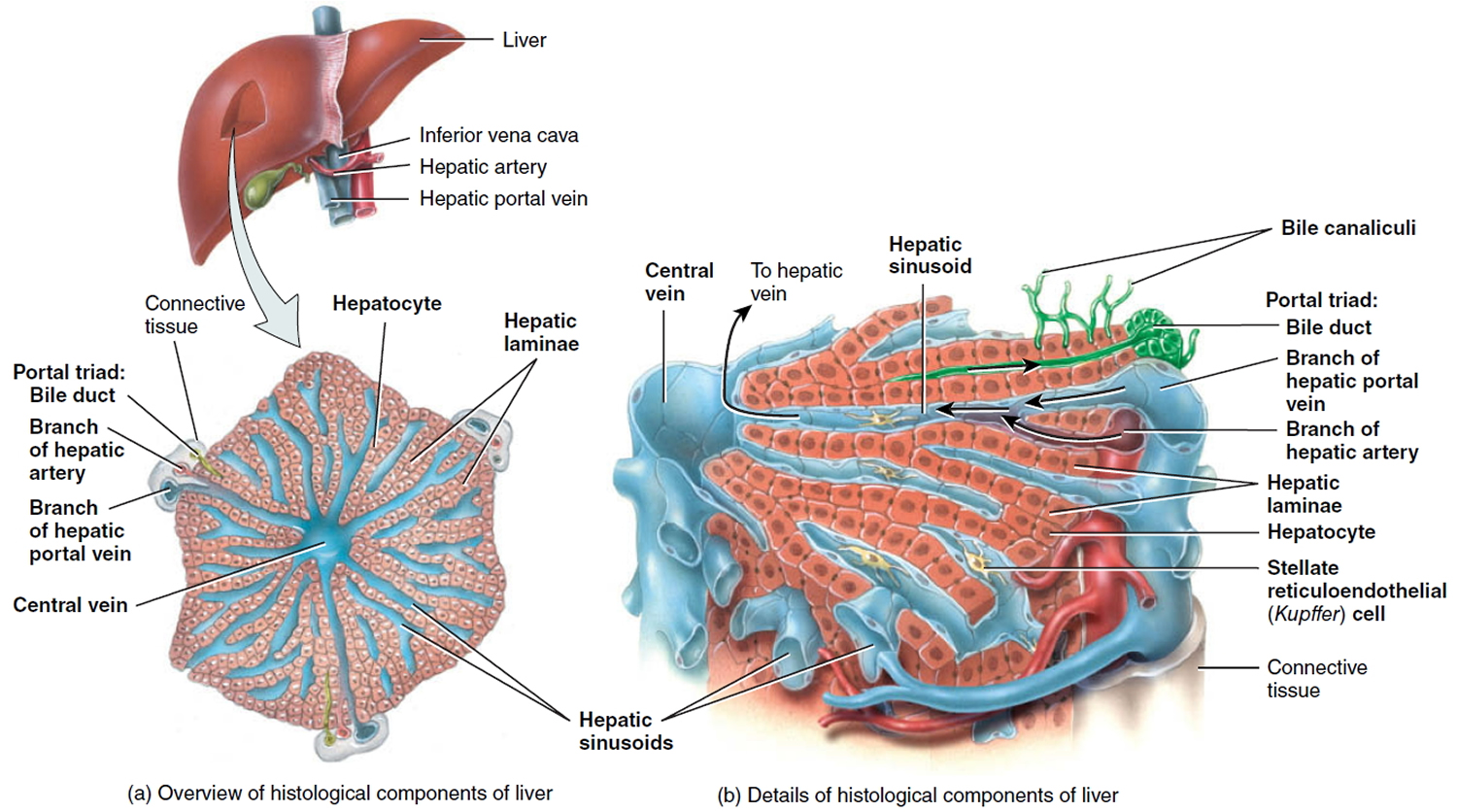 Cholangiocarcinoma - Bile Duct Cancer - Causes, Symptoms, Treatment