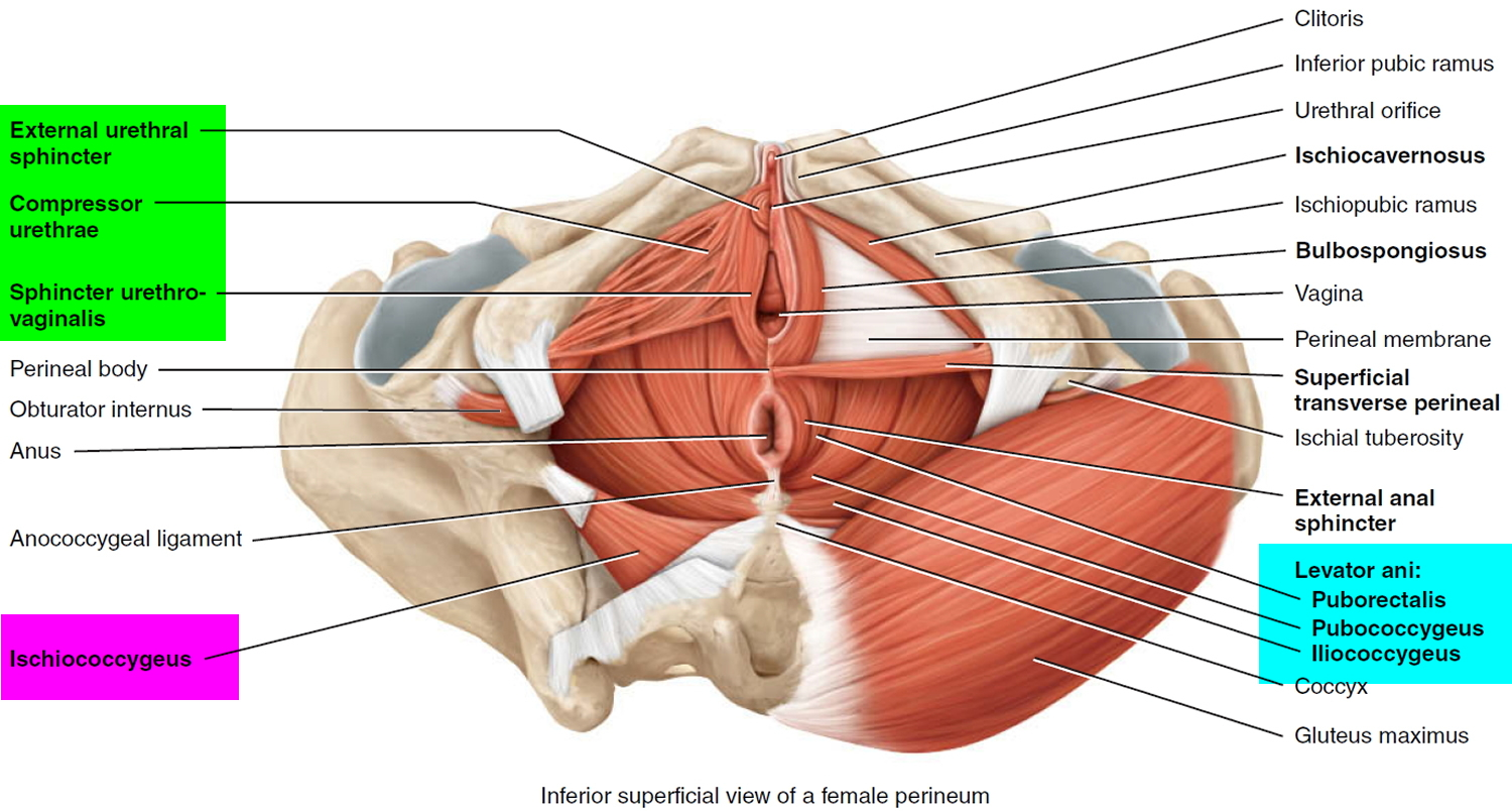 pelvic floor - female
