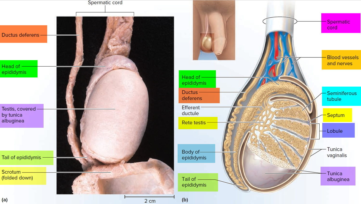 testicle anatomy