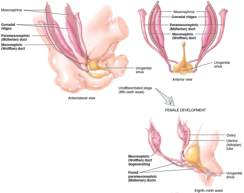 Development of female reproductive organs