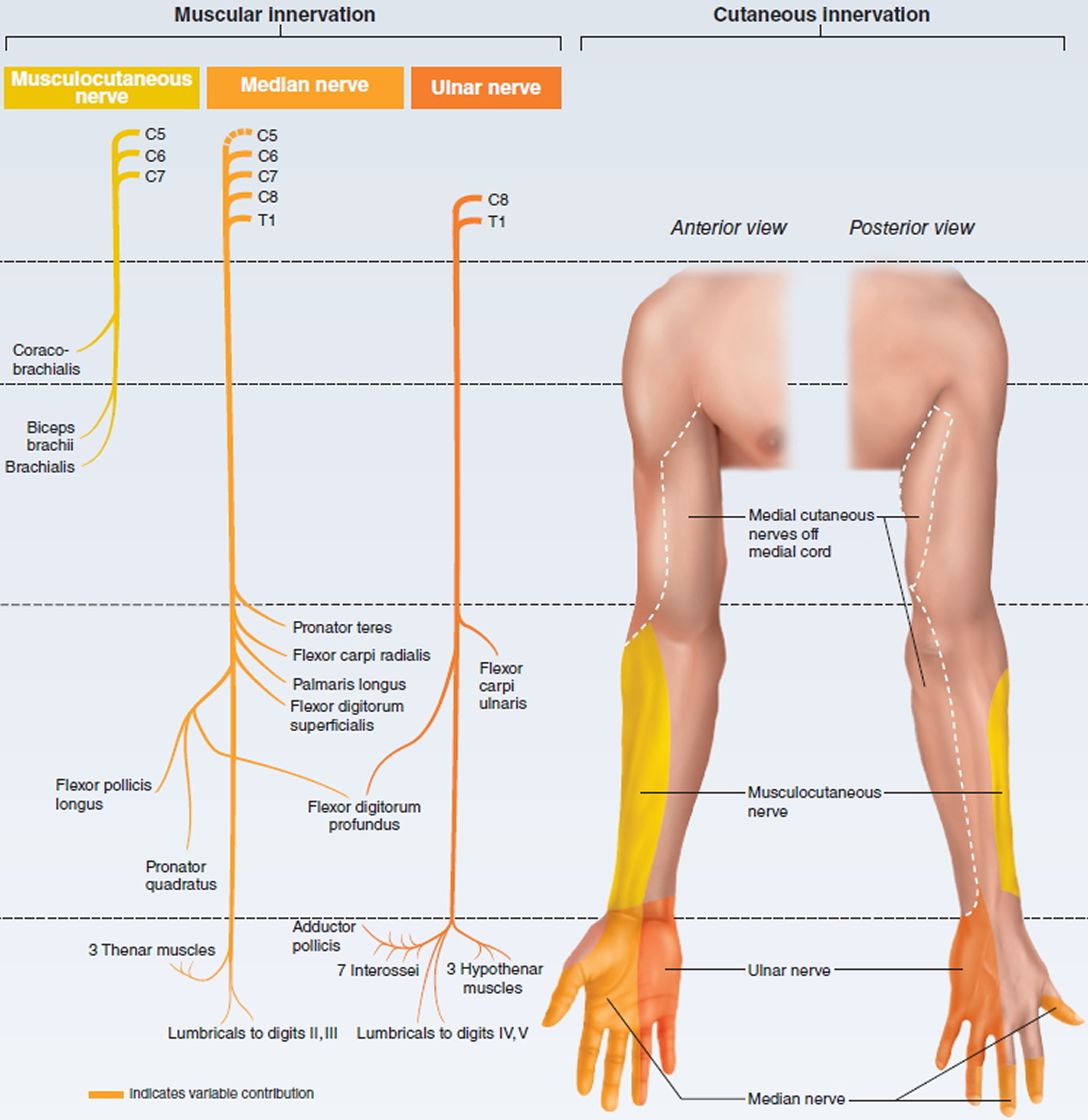 brachial plexus motor and sensory innervation of upper limb