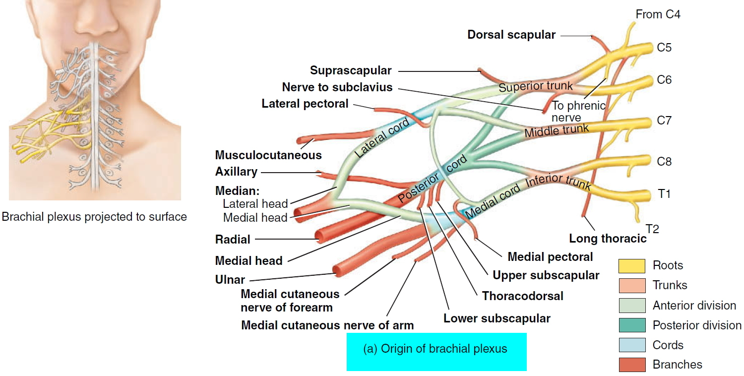 brachial plexus origin and nerve branches
