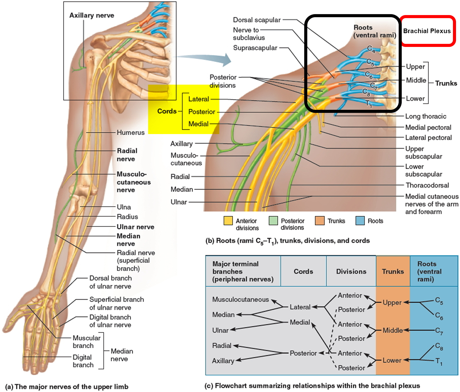 brachial plexus The brachial plexus is group, or network, of nerves that carry signals from the spinal cord to control the feeling and movement of shoulders, arms, elbows, wrists and hands.
