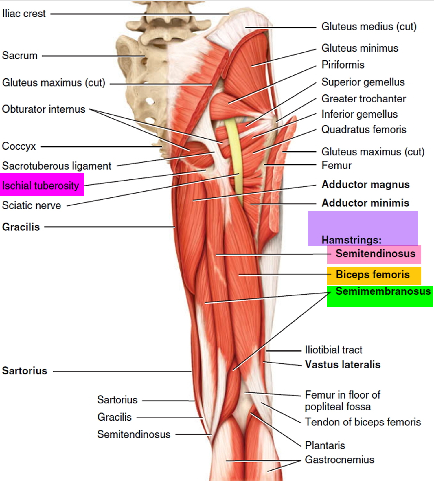 Hamstring Injury Causes Symptoms Recovery Time Treatment