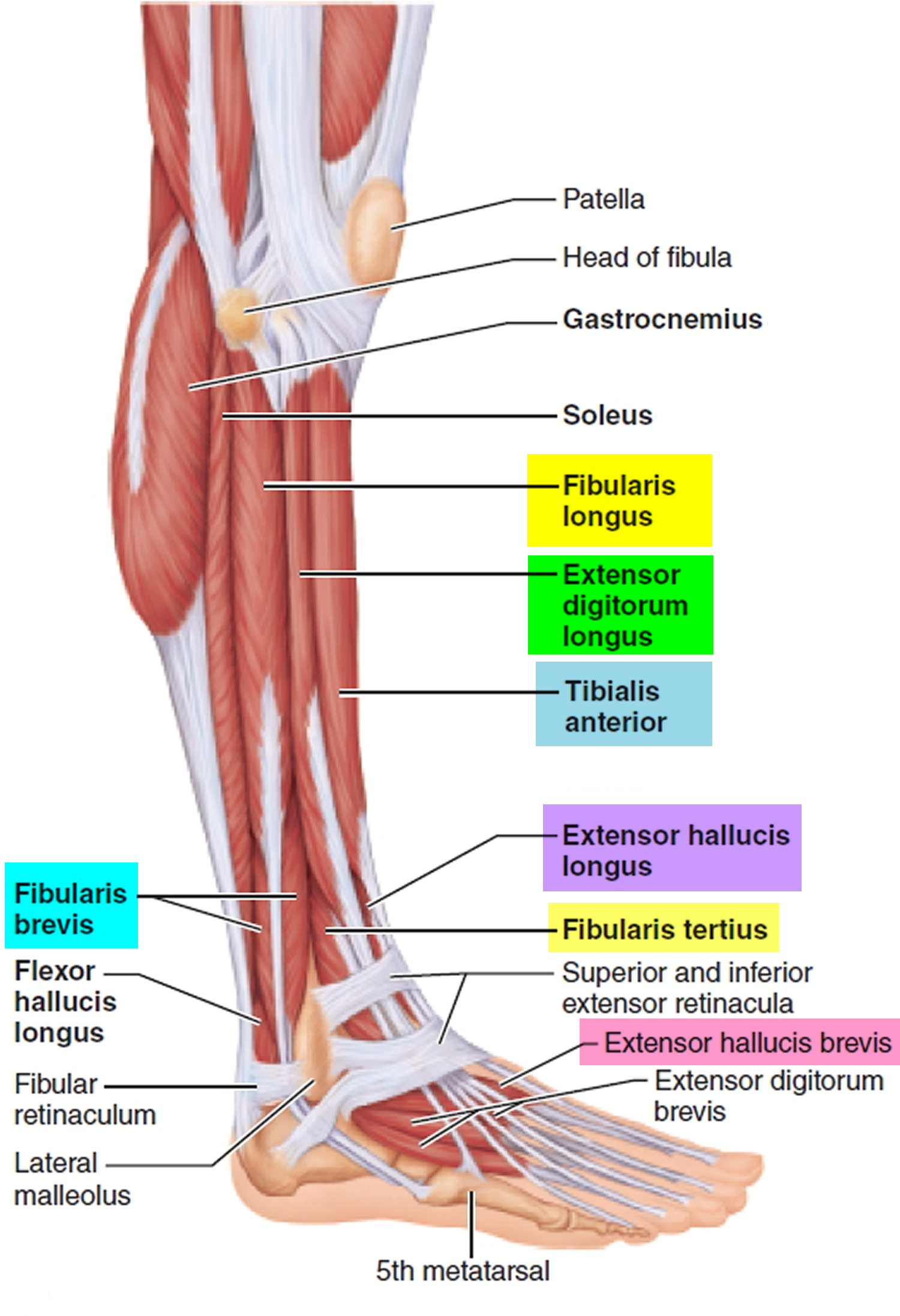 lateral leg compartment muscles