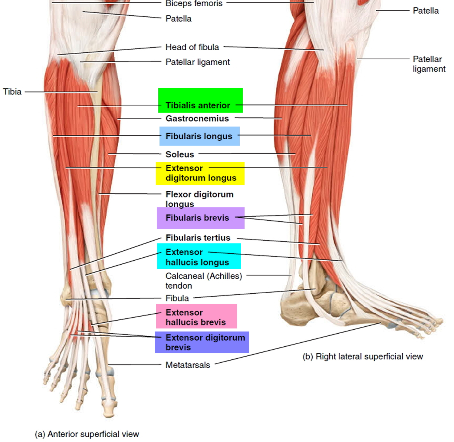 Foot Drop - Causes, Foot Drop Nerve, Symptoms, Prevention & Treatment