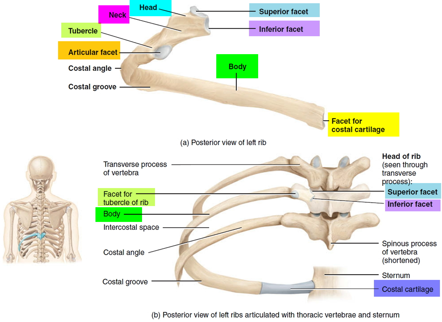 structure of ribs
