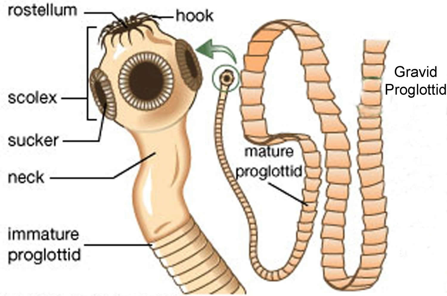 Tapeworm In Humans Symptoms How Do You Get Treatment