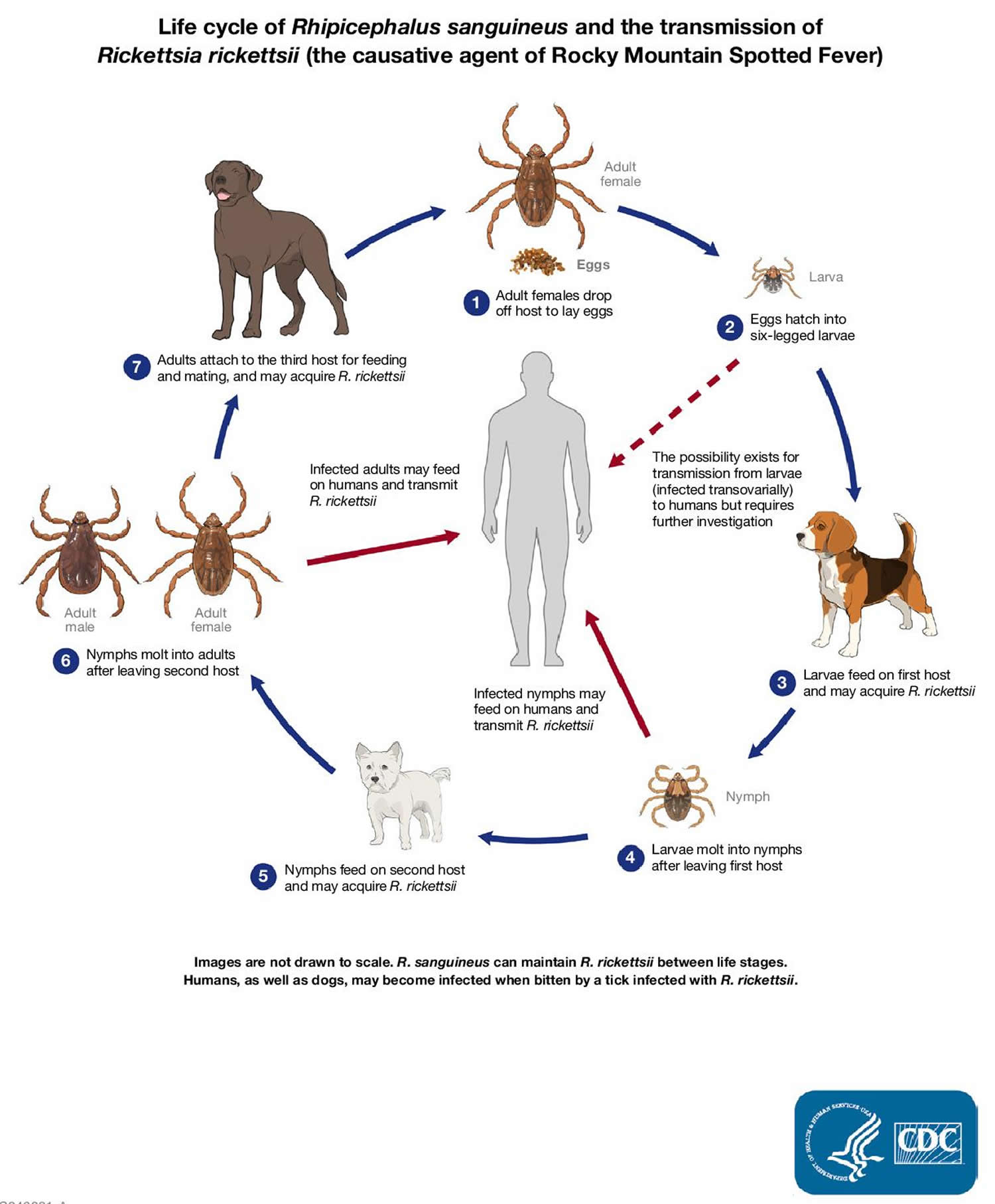 Lifecyle of dog ticks