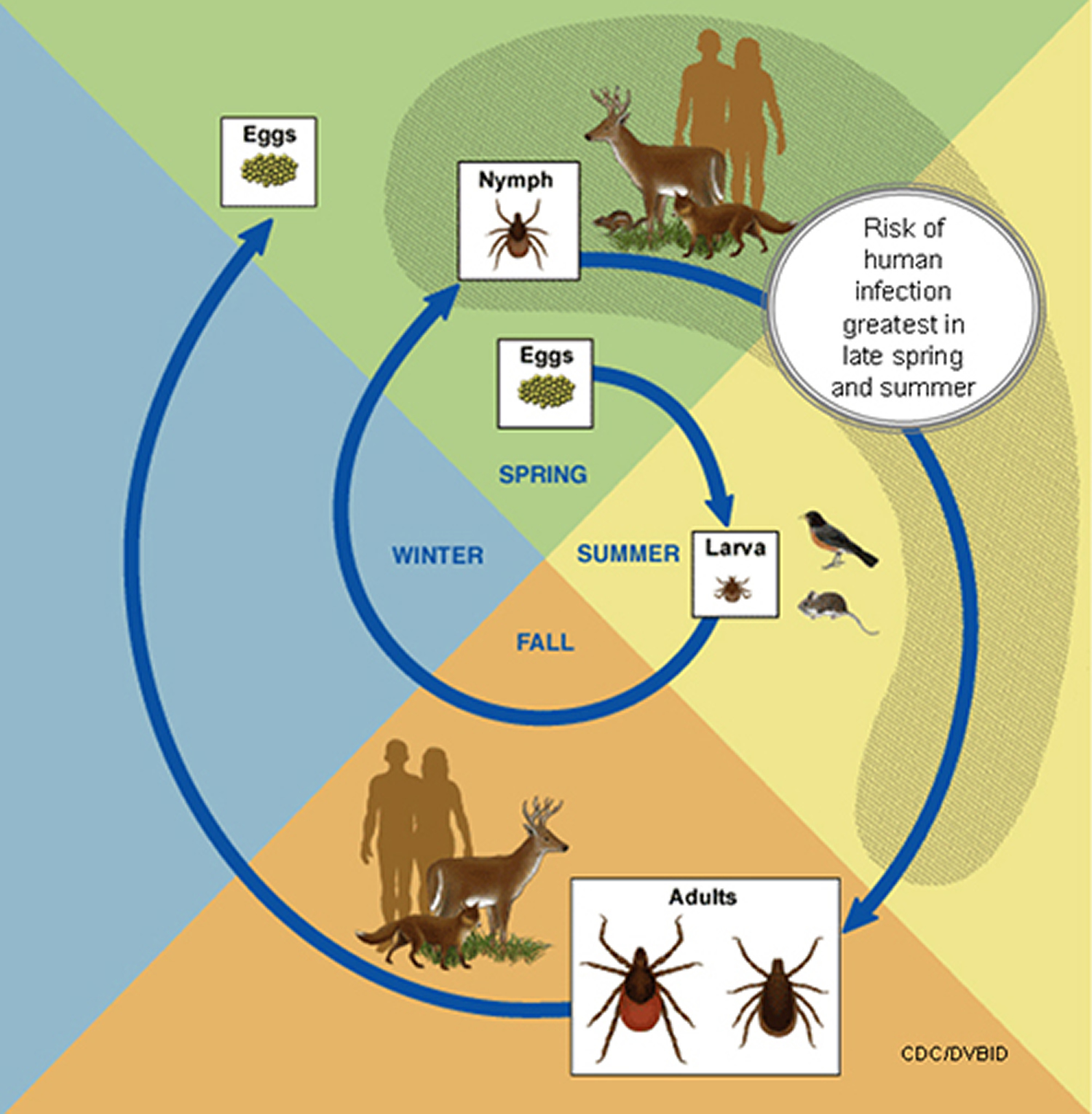 life cycle of blacklegged ticks