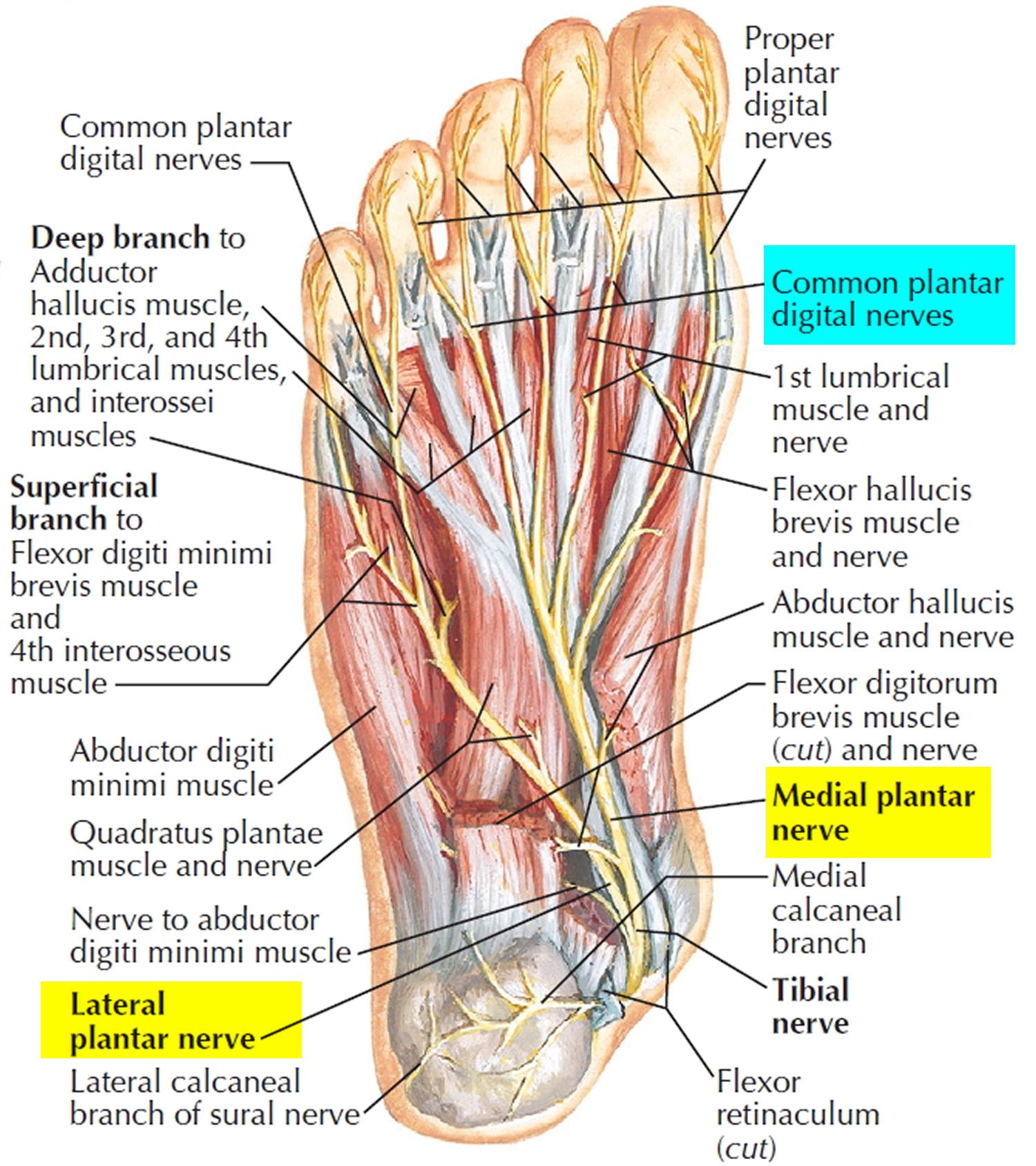 Mortons Neuroma Causes Symptoms Diagnosis Treatment