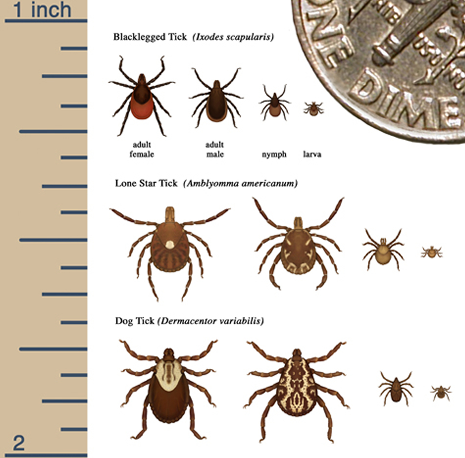 sizes of several ticks at different life stages