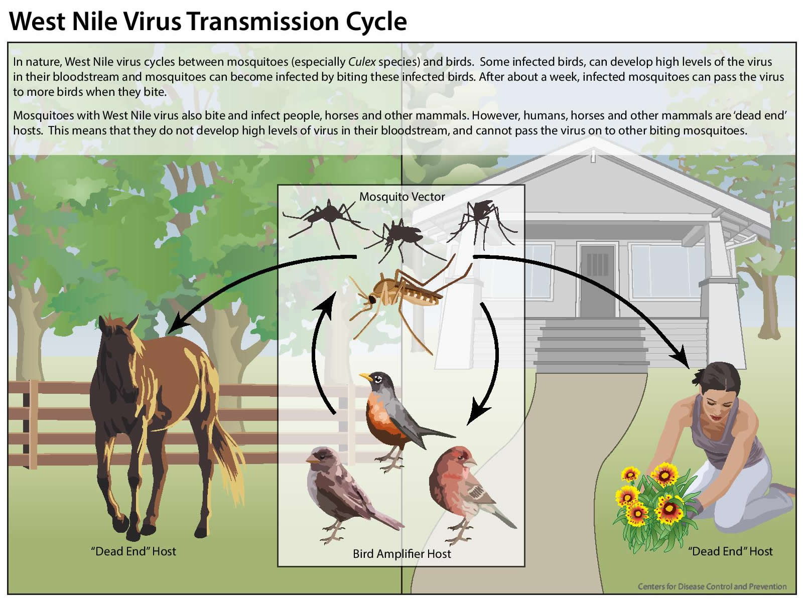 West Nile virus transmission