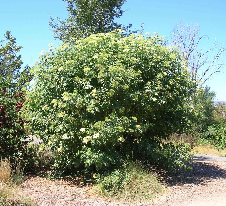 elderberry plant