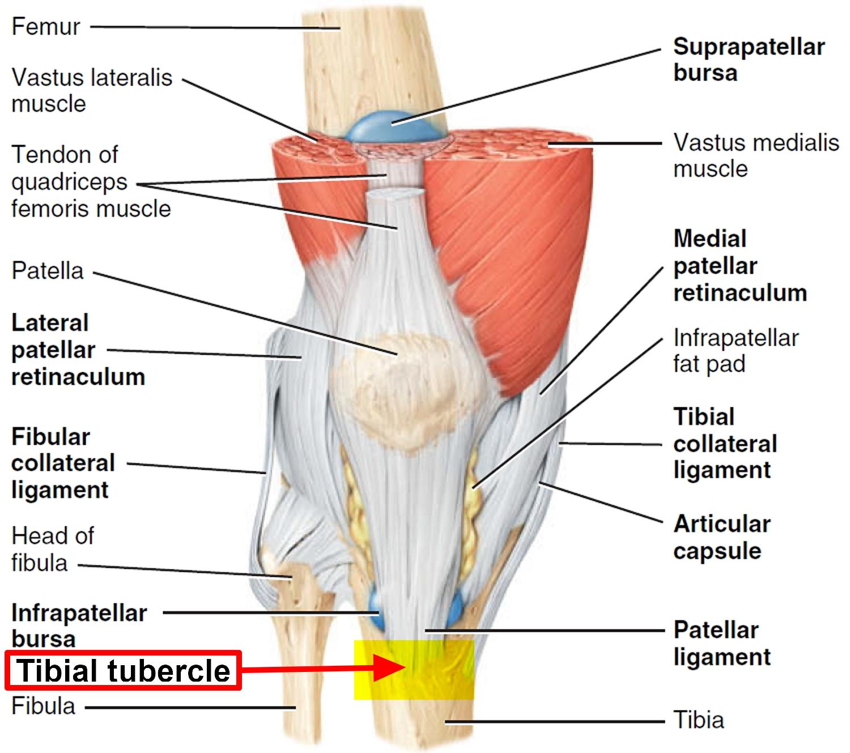 Ausgezeichnet Tibiatuberkel Anatomie Bilder - Menschliche Anatomie ...