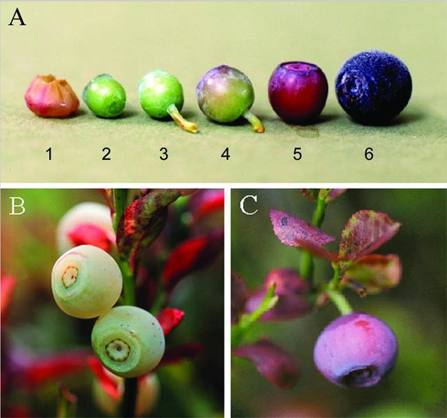 Bilberry from flower to ripe fruit