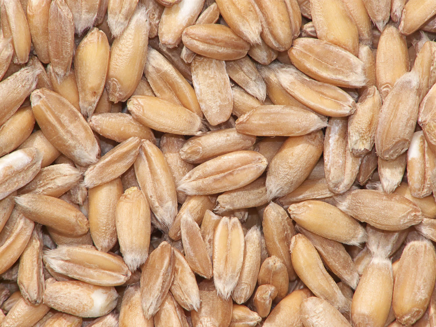 Triticum spelta wheat