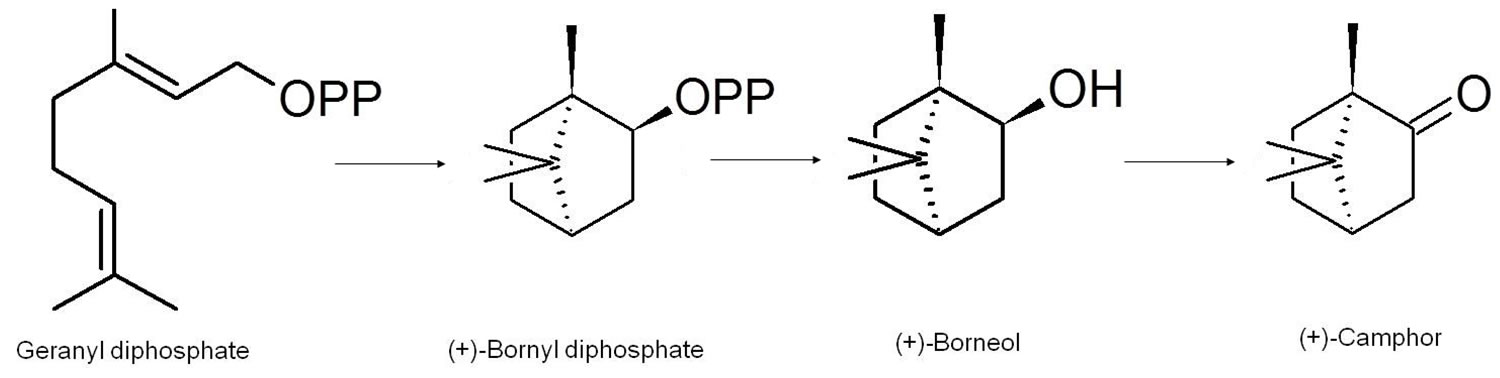 biosynthesis of camphor