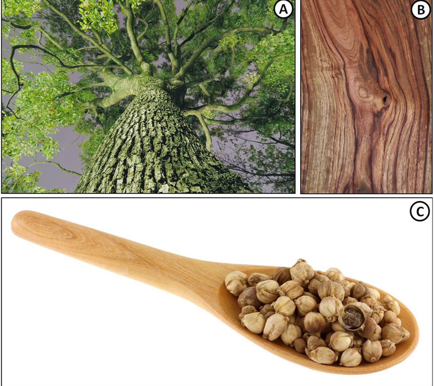 camphor tree, wood and seeds