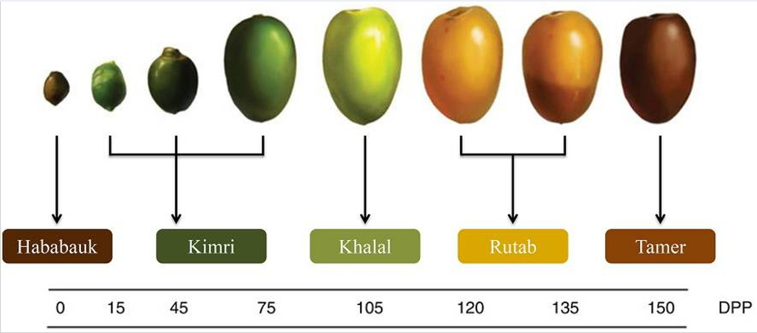 growth stages dates fruit