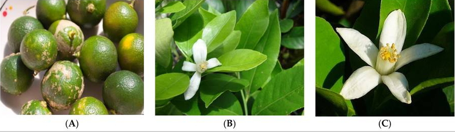 lime fruit - leave - flower - citrus Microcarpa