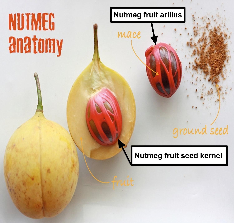 nutmeg fruit anatomy