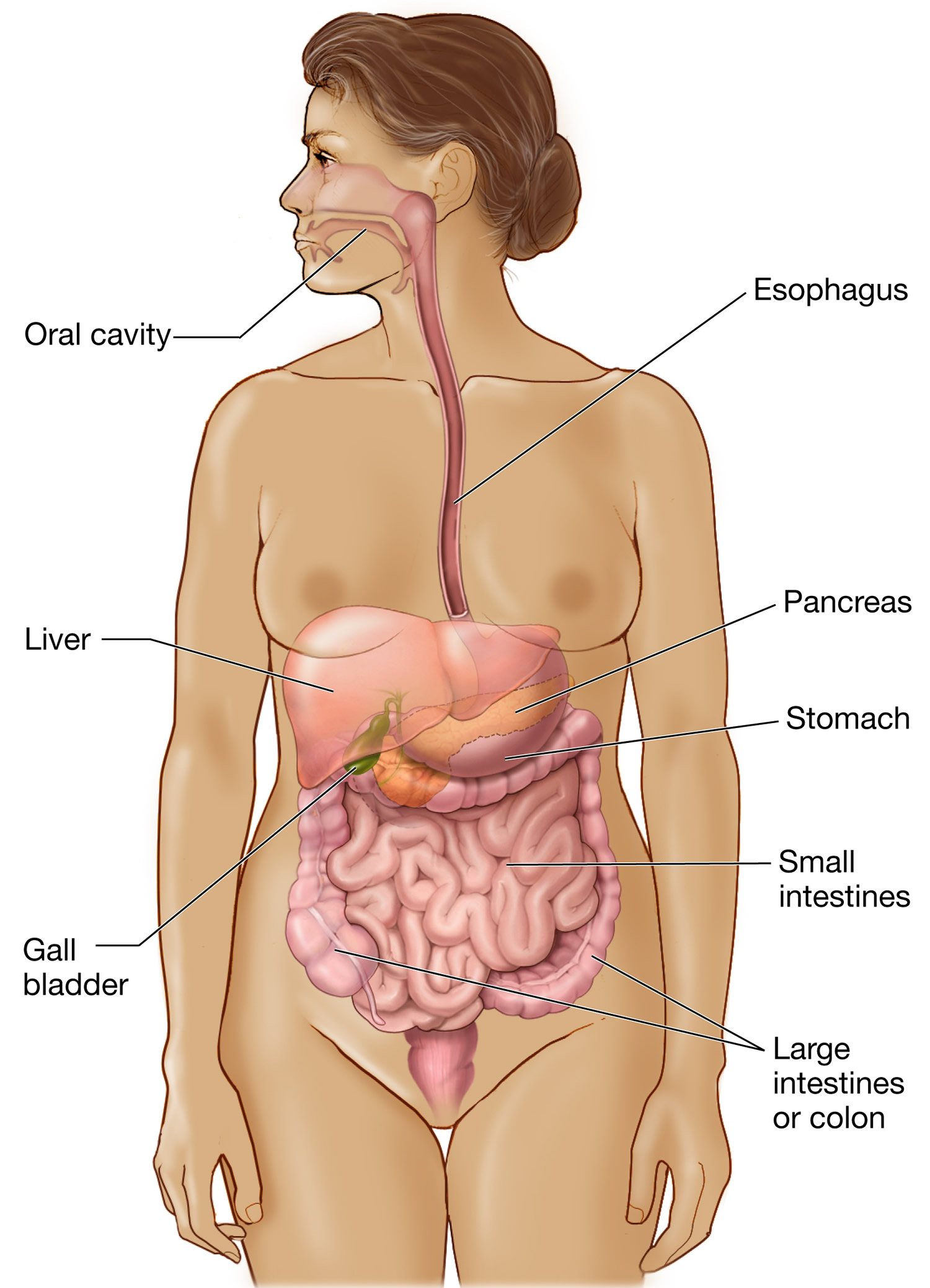 Gastrointestinal system - digestive system